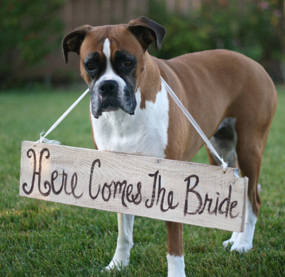 dog wearing here comes the bride sign